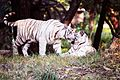 Softer side of the fierce White Tigers.jpg