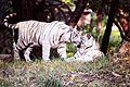 Softer side of the fierce White Tigers.jpg