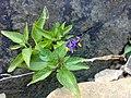 Solanum dulcamara 09.jpg