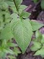 Solanum dulcamara leaf-5-31-05.jpg