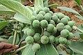 Solanum mauritianum - Wild tobacco tree - at Ooty 2014 (20).jpg