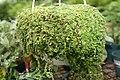 Soleirolia soleirolii 1zz.jpg