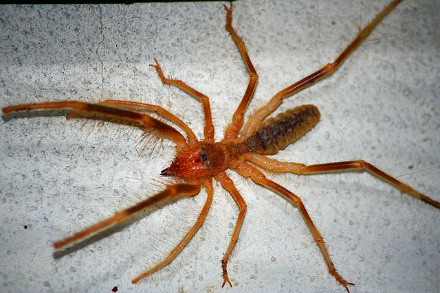 ... ‎ (1,000 ... Giant Camel Spider Size