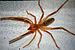 75px solifugae  camel spider siamak sabet