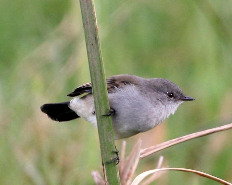 Ficheiro:Sooty Tyrannulet (Serpophaga nigricans)-8.jpg