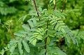 Sorbus aucuparia (8337815870).jpg