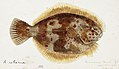 Southern Pacific fishes illustrations by F.E. Clarke 53.jpg