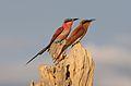 Southern carmine bee-eater, Merops nubicoides, Chobe National Park, Botswana (32082899030).jpg