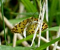 Speckled Yellow Moth Pseudopanthera macularia (34546987301).jpg