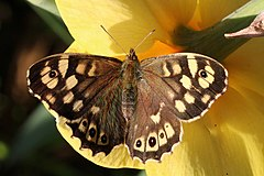 Speckled wood (Pararge aegeria) female 3.jpg