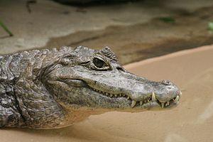 Caiman - Spectacled caiman (Caiman crocodilus)