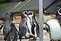 Spheniscus humboldti -Harewood Bird Garden, Leeds, England -several-8a.jpg