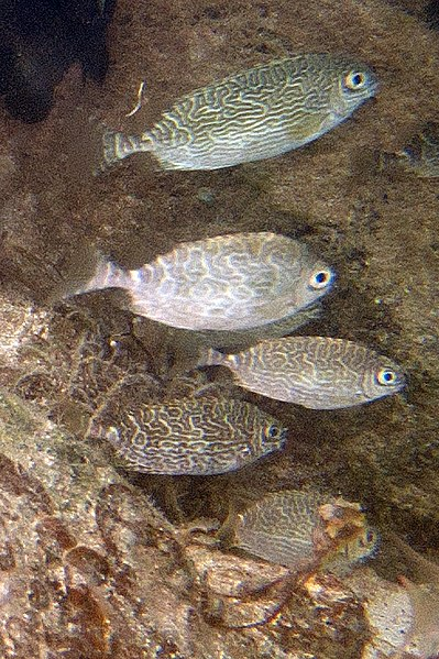 Fichier:Spiny rabbitfish Siganus spinus (7568518500).jpg