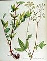 Spiraea ulmaria — Flora Batava — Volume v13.jpg