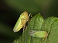 Spittle bugs - mating (7328415294).jpg