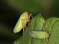 Spittle bugs - mating (7328415294).jpg