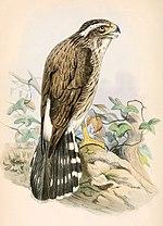 Spiziapteryx circumcincta 1862.jpg