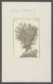 Spongia linteiformis - - Print - Iconographia Zoologica - Special Collections University of Amsterdam - UBAINV0274 112 02 0019.tif