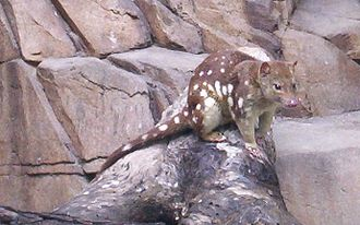 Tiger quoll - Tiger quoll at a wildlife sanctuary area at Queens Park, Ipswich, Queensland, Australia