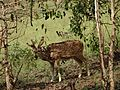 SpottedDeer Tyavarekoppa 06.jpg