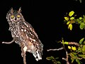 Spotted Eagle-Owl (Bubo africanus) (6042523428).jpg