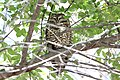 Spotted Owl (Strix occidentalis) (8733114526).jpg