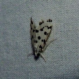 Spotted Peppergrass Moth.jpg