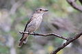 Spotted flycatcher, Muscicapa striata, at Marakele National Park, Limpopo, South Africa (15696893734).jpg