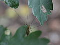 Spottet crane fly (9008873819).jpg