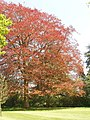 Spring leaves of copper beech at Blenheim - geograph.org.uk - 796764.jpg