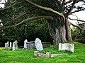 St Nicholas churchyard, Studland, Old Yew - geograph.org.uk - 732911.jpg