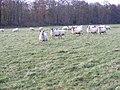 Staffordshire Way Sheep - geograph.org.uk - 1603234.jpg