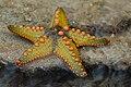 Starfish 08 (paulshaffner).jpg
