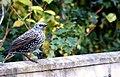 Starling (5452160804).jpg