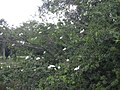 Starr-031108-3179-Schinus terebinthifolius-habitat with Ibis sp-Long Key-Florida (24648951126).jpg