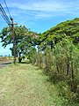 Starr-060820-8603-Conyza bonariensis-habit along fence-Makawao-Maui (24496735189).jpg