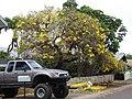 Starr-090421-6222-Tabebuia aurea-flowering habit-Pukalani-Maui (24584706059).jpg