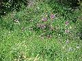 Starr-090519-8031-Lathyrus latifolius-flowering habit-Kula-Maui (24955634575).jpg