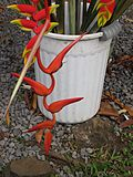 Starr-090617-1016-plant-Heliconia sp-possibly colgantea or nutans with rostrata flowers-Haiku (9211500945).jpg