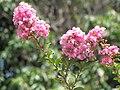 Starr-090720-3051-Lagerstroemia indica-flowers-Waiehu-Maui (24943847186).jpg