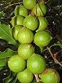 Starr-090804-3778-Macadamia integrifolia-fruit-MISC HQ Piiholo-Maui (24877968241).jpg