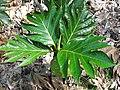 Starr-091104-0776-Artocarpus altilis-leaves-Kahanu Gardens NTBG Kaeleku Hana-Maui (24356977944).jpg