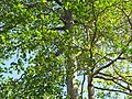 Starr-091104-0833-Terminalia sp-leaves-Kahanu Gardens NTBG Kaeleku Hana-Maui (24987681505).jpg