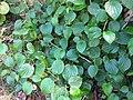 Starr-091104-8934-Piper gualiameanse-habit-Kahanu Gardens NTBG Kaeleku Hana-Maui (24620726629).jpg