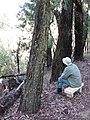 Starr-091115-1125-Eucalyptus sideroxylon-habit with Forest on bench-Olinda-Maui (24963601926).jpg