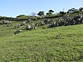 Starr-100331-4023-Opuntia ficus indica-habit in pasture-Kula-Maui (24895411892).jpg