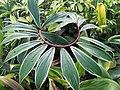 Starr-110215-1172-Costus speciosus-leaves-KiHana Nursery Kihei-Maui (24448906923).jpg