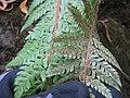 Starr-110705-6670-Polystichum sp-sori-Waiale Gulch-Maui (24471274983).jpg