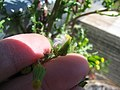 Starr-120329-9225-Senecio vulgaris-seedhead-Near Stone building HNP-Maui (25111927926).jpg