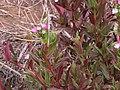 Starr-120501-5457-Epilobium ciliatum-flowers and leaves-Polipoli-Maui (24515229383).jpg